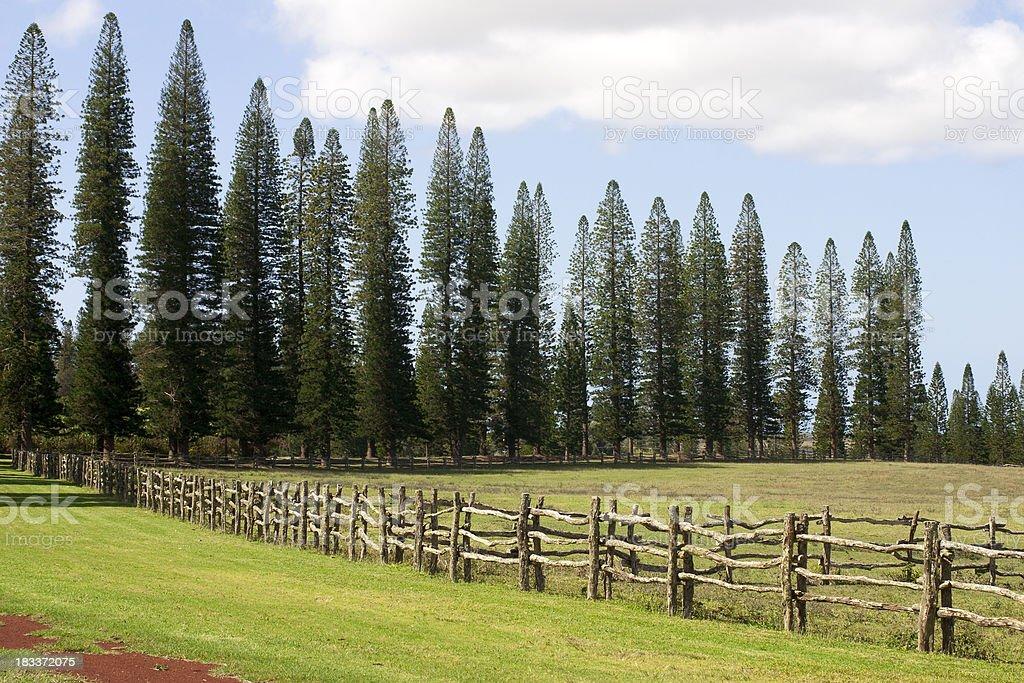 Norfolk pines on Lanai stock photo
