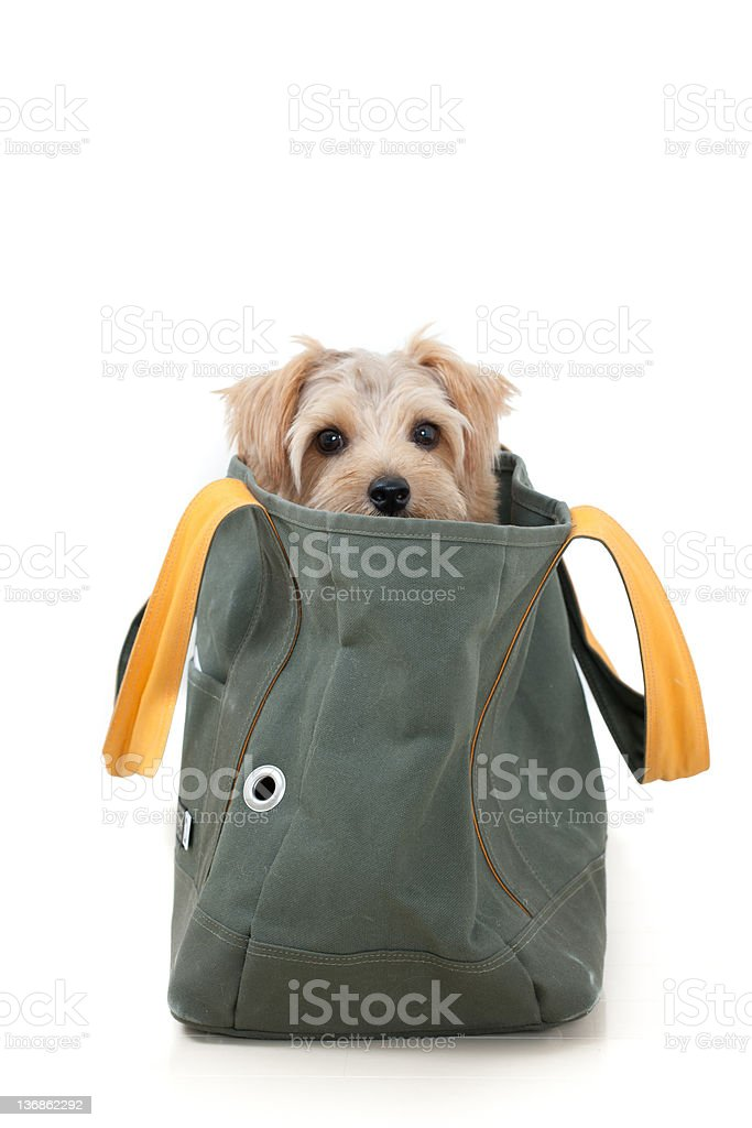 Norfolk terrier dog in a bag stock photo