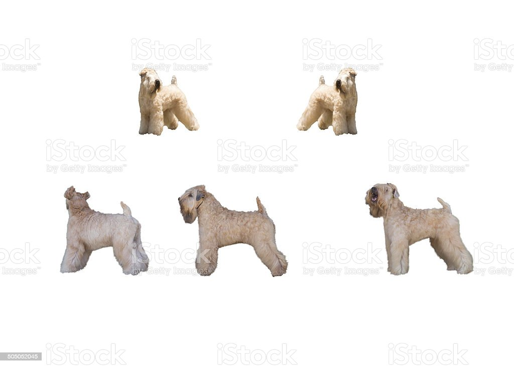 Norfolk terrier dog stock photo