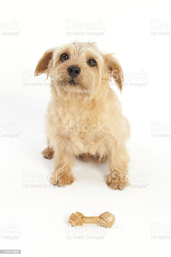 Norfolk Terrier Dog waiting treat stock photo