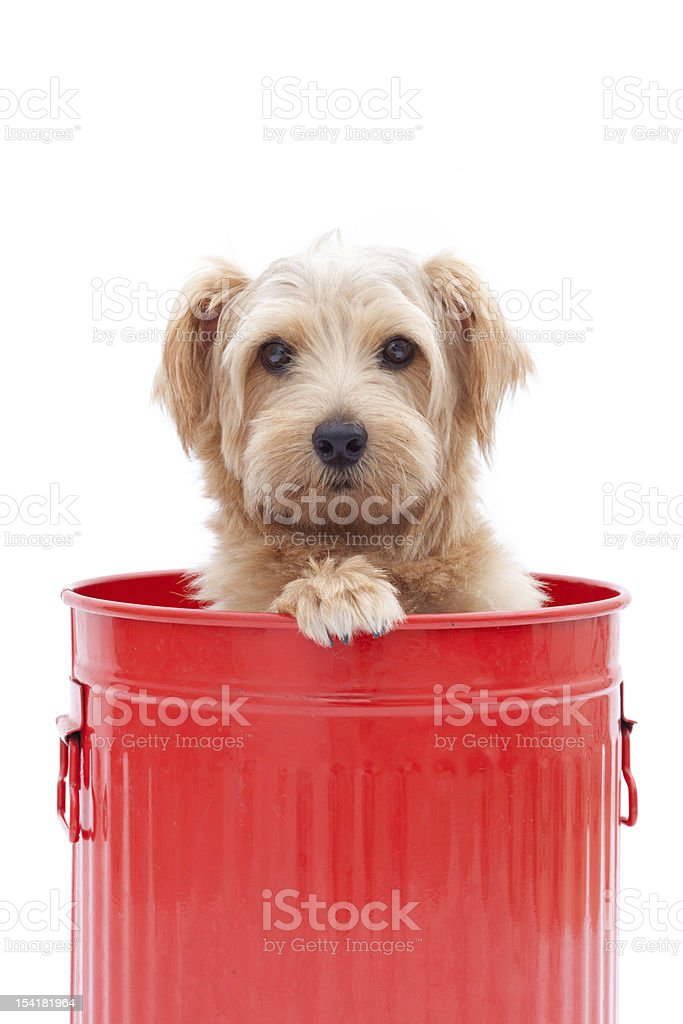 Norfolk terrier in a bucket stock photo