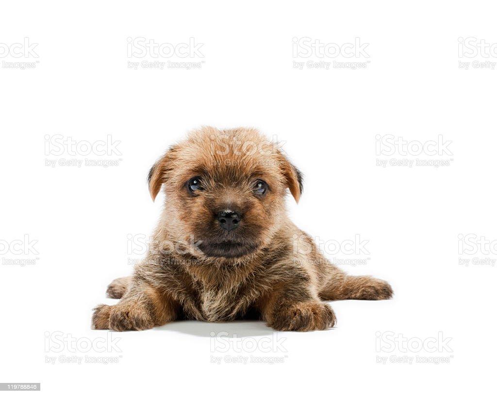 Norfolk Terrier puppy stock photo