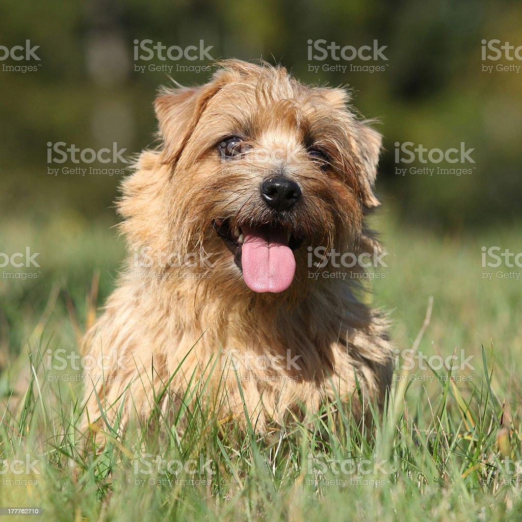 Norfolk terrier smiling at you stock photo