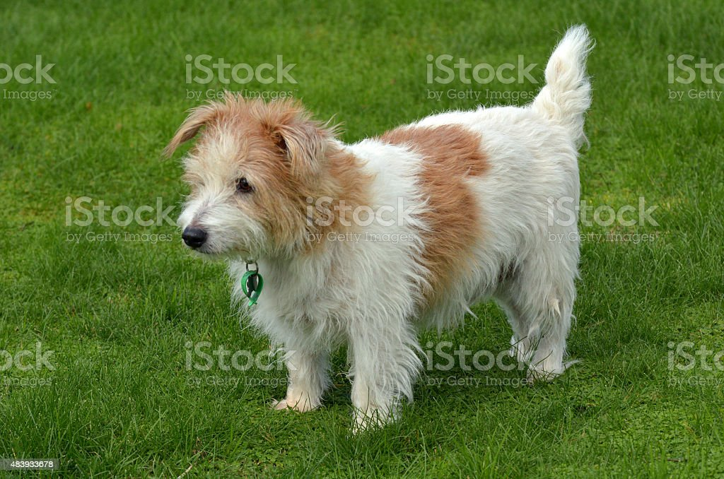 Norfolk Terrier stand on green grass stock photo