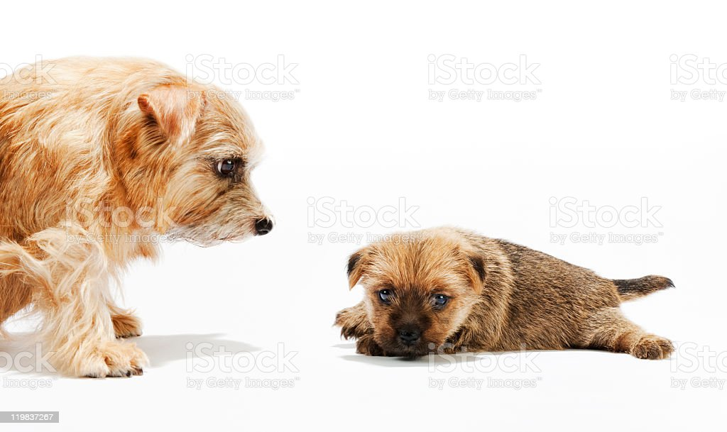 Norfolk Terrier's puppy and parent stock photo