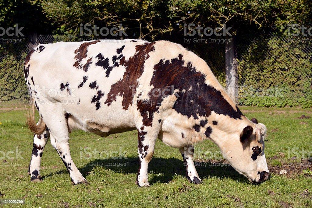 Normandy cow grazing stock photo