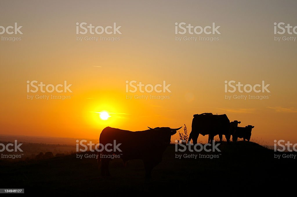 Normandy Cows stock photo