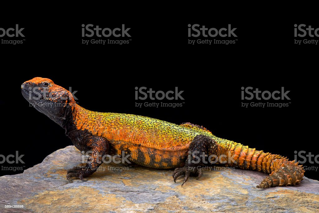 North African Spiny-tailed Lizard (Uromastyx acanthinura) stock photo