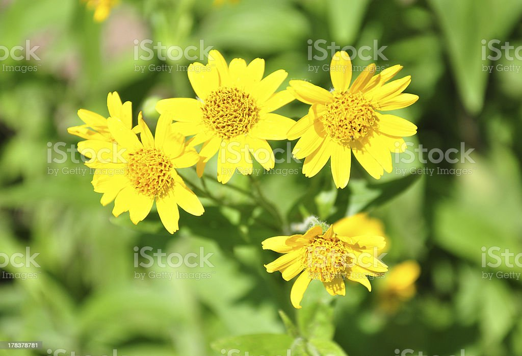 North American arnica (Arnica chamissonis) stock photo