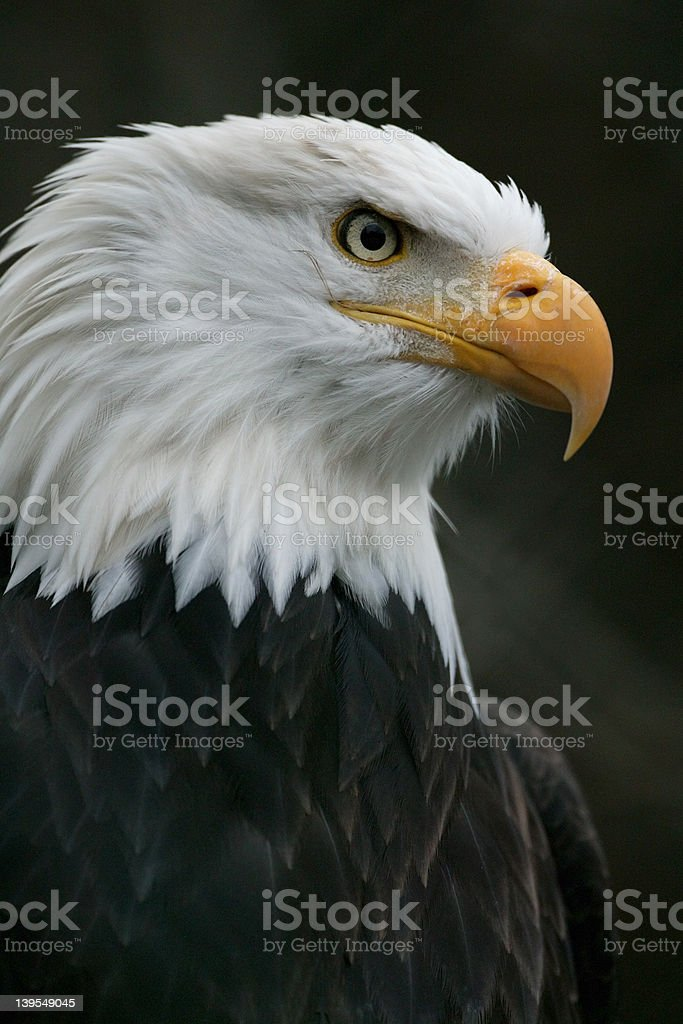 North american bald eagle royalty-free stock photo