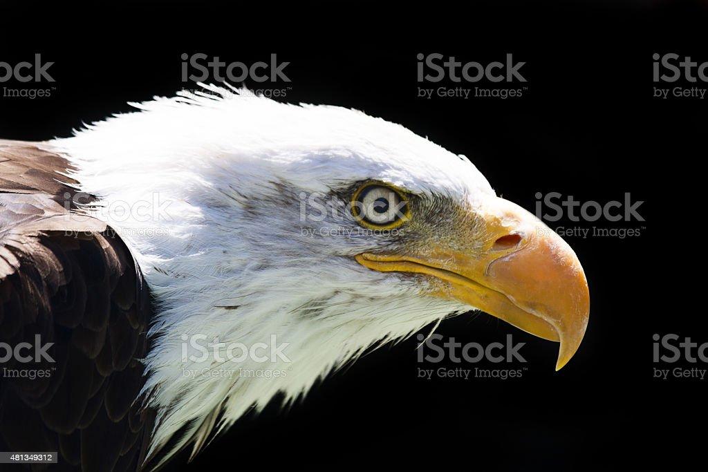 North American Bald Eagle stock photo