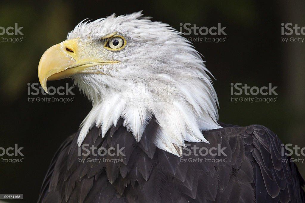 North american bald eagle royalty-free stock photo