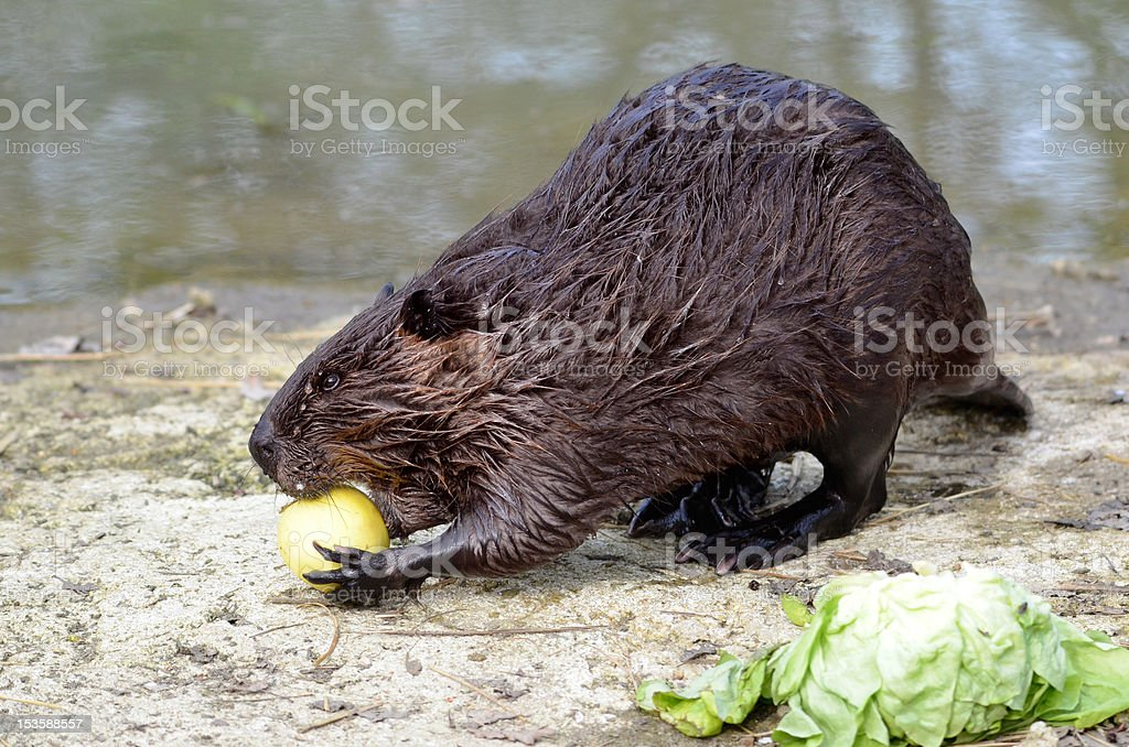 North American Beaver eating apple stock photo