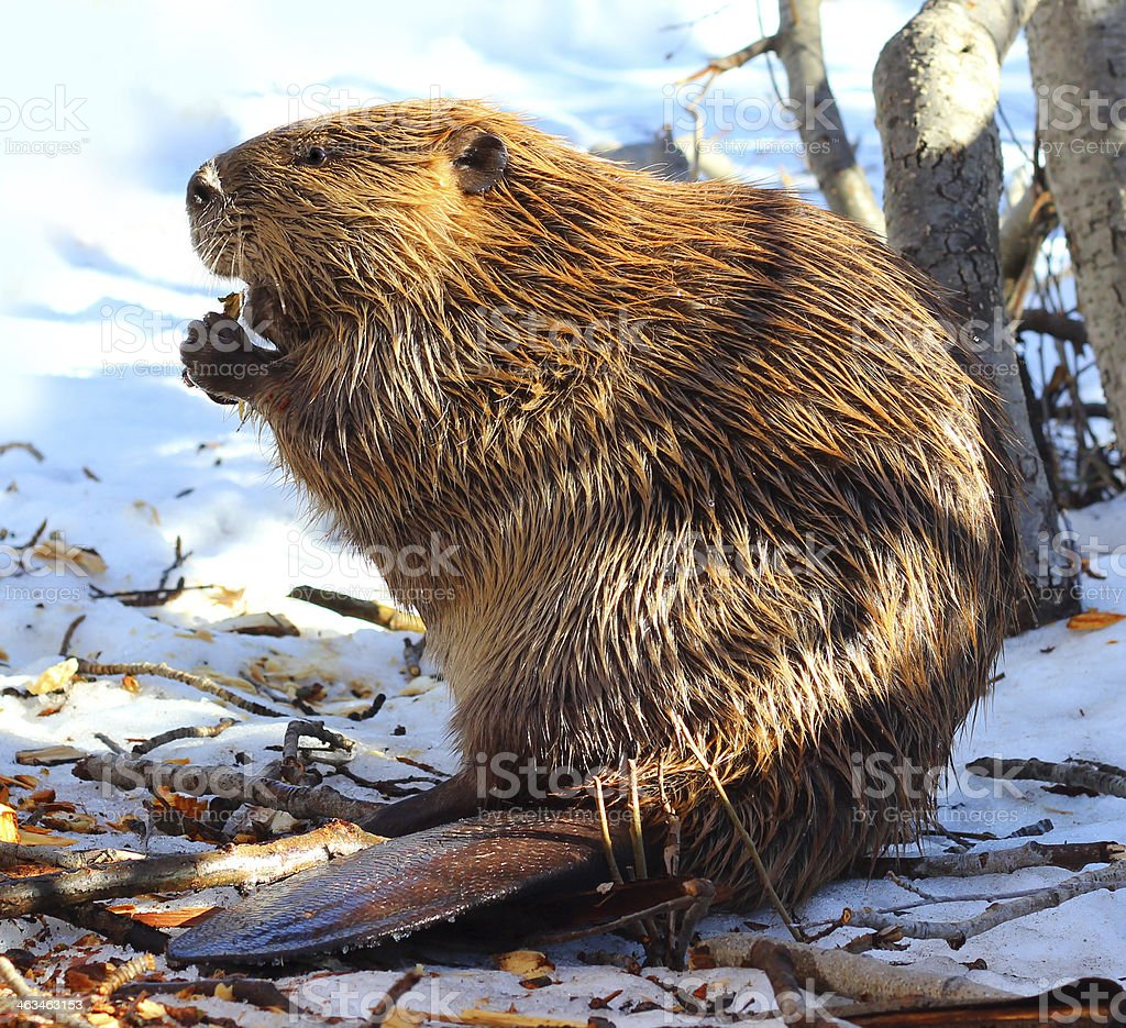 North American Beaver Eating Wood In the Snow stock photo