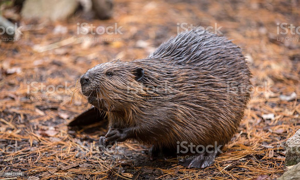 North American Beaver on the forest floor after a swim stock photo