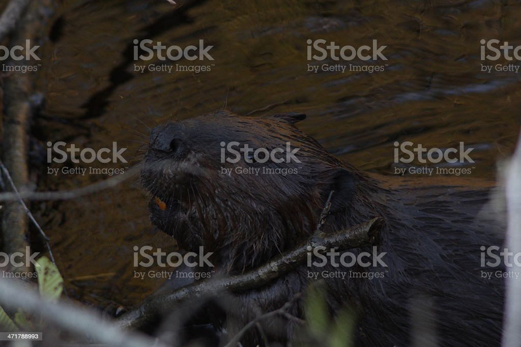 North American Beaver royalty-free stock photo