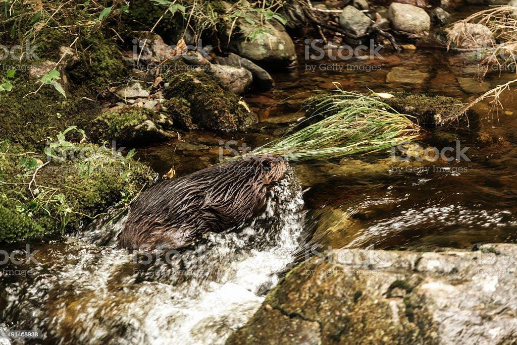 North American Beaver stock photo