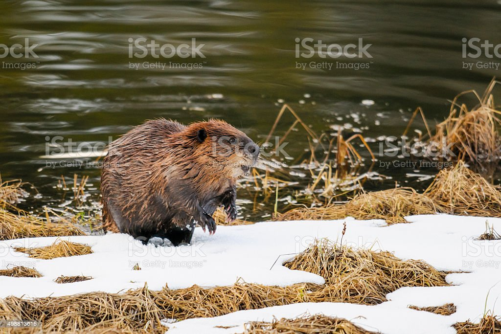 North American beaver (Castor canadensis) stock photo