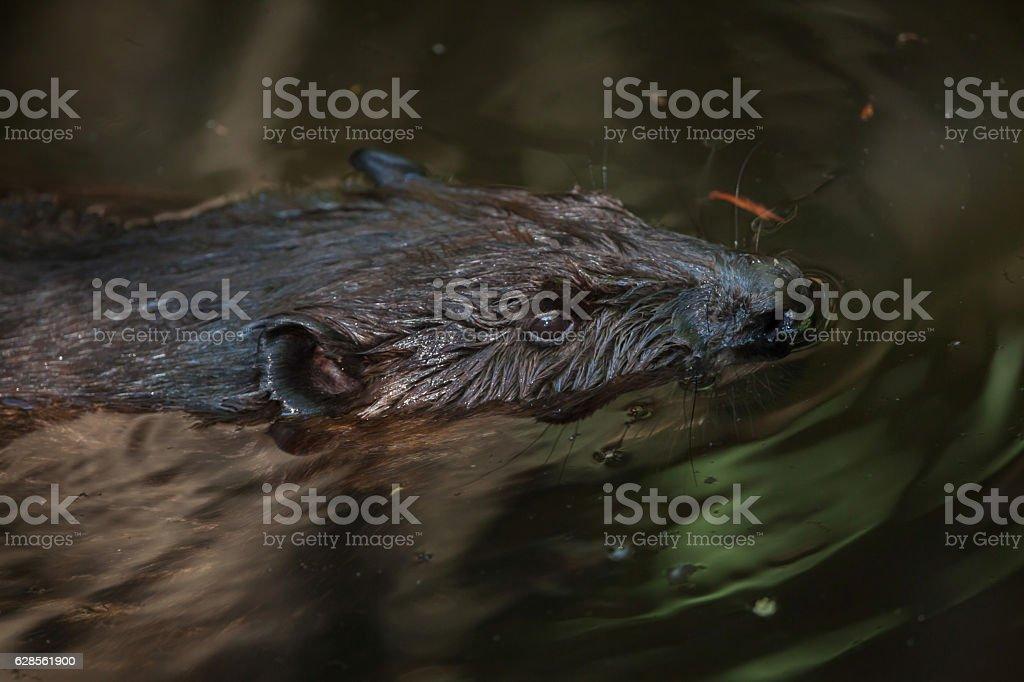 North American beaver (Castor canadensis) stock photo