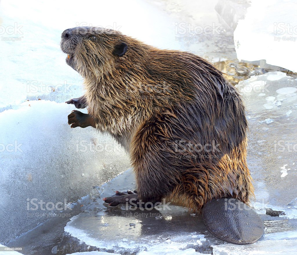 North American Beaver Standing on Ice stock photo