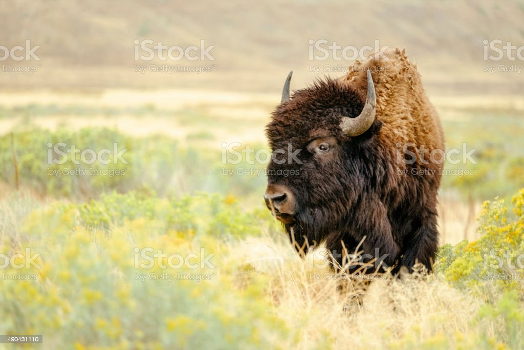 North American Bison stock photo
