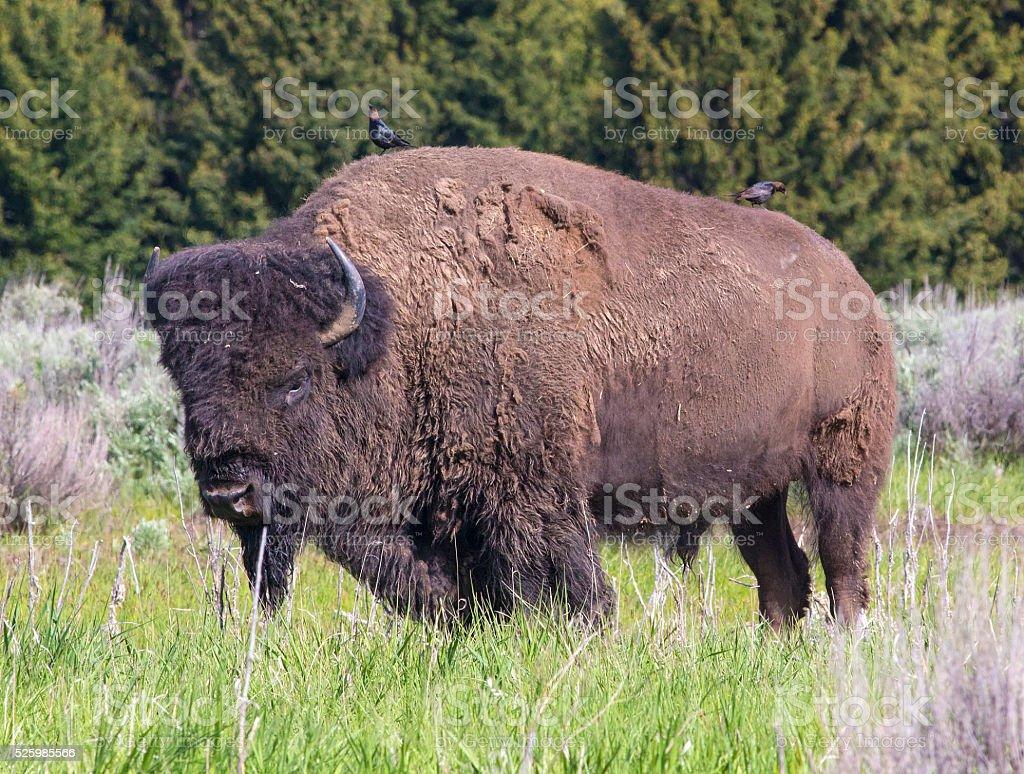 North American Bison stock photo
