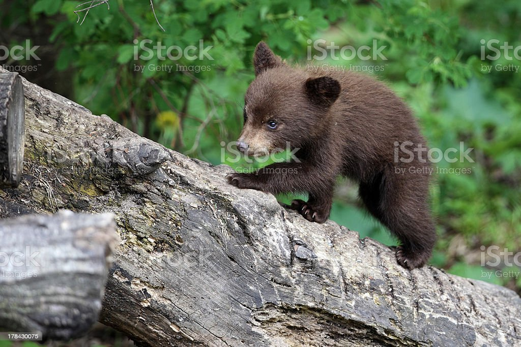 North American Black Bear cub in forest stock photo