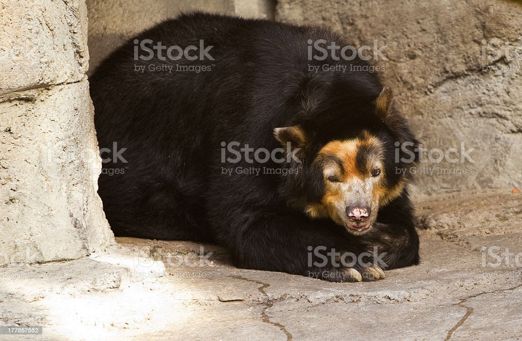 North American Black bear stock photo