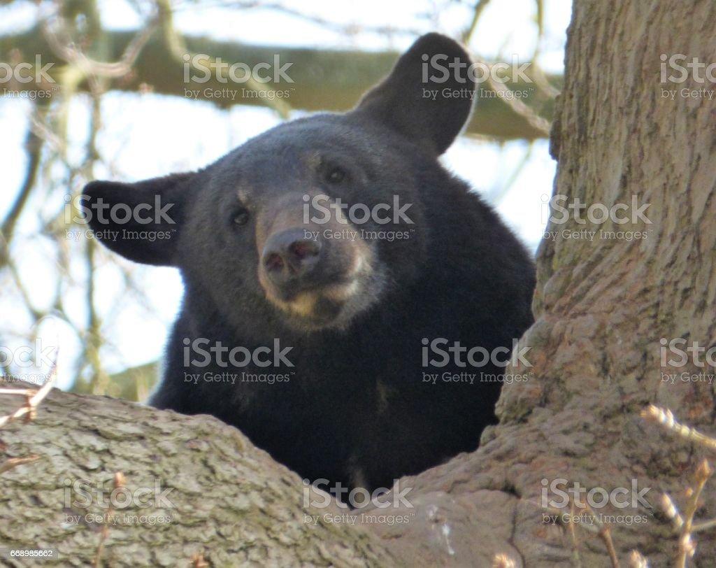 North American Black Bear stock photo
