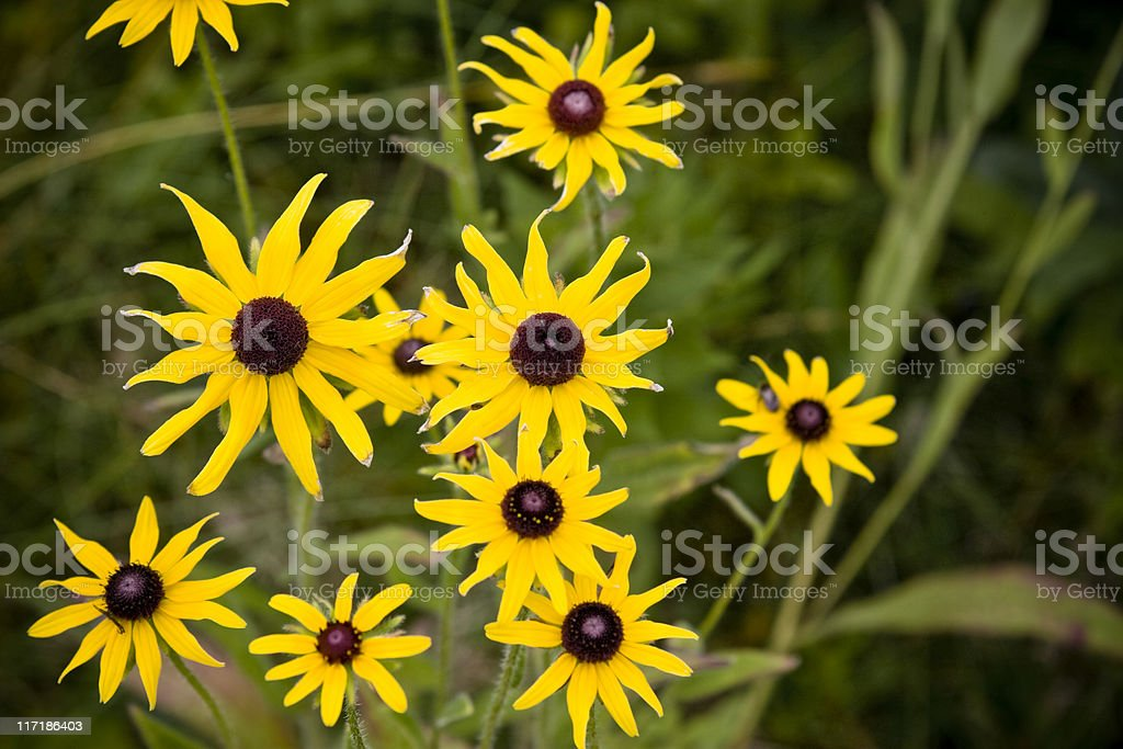 North American Black-eyed Susans in the Wild royalty-free stock photo