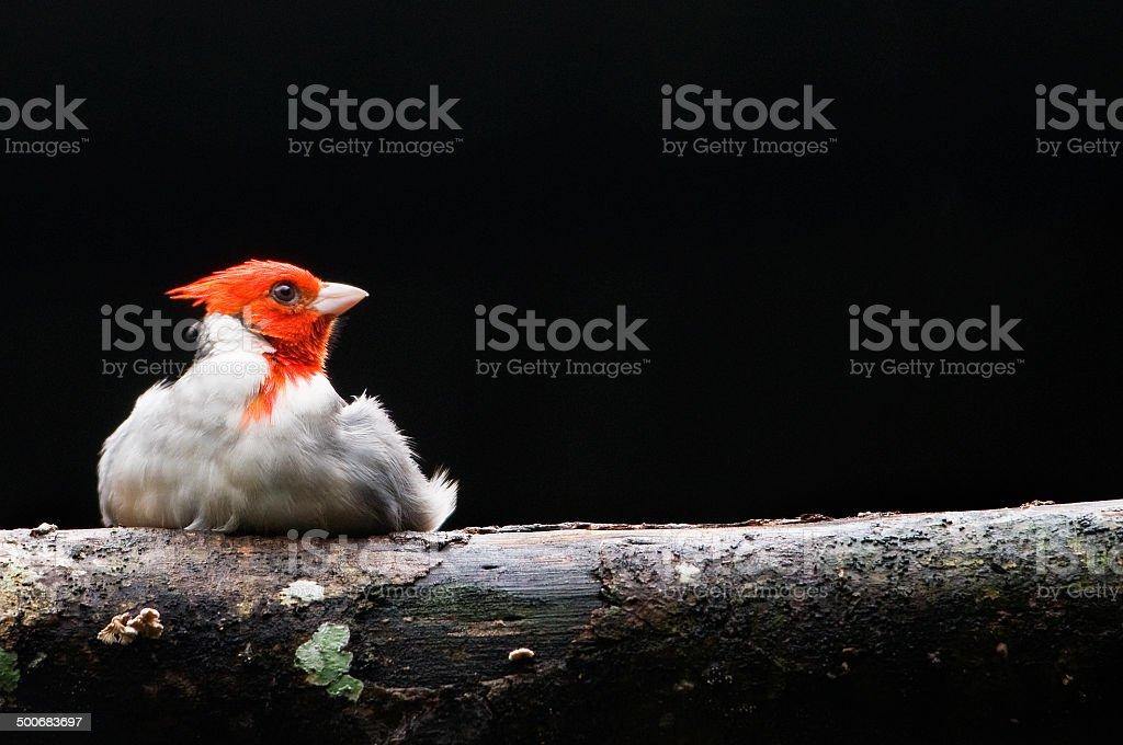 North American Cardinal Bird stock photo