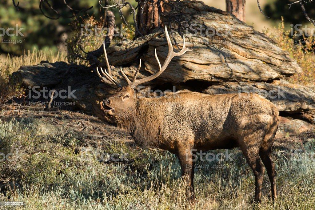 North American elk stock photo