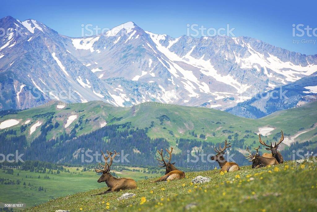 North American Elks stock photo