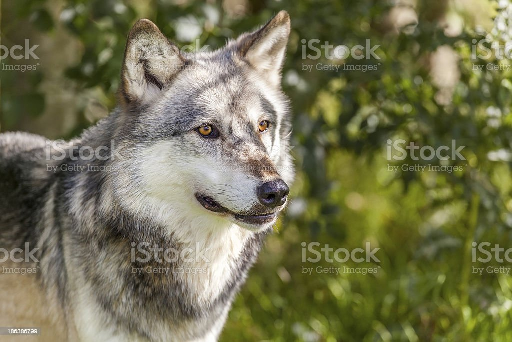North American Gray Wolf, Canis Lupus stock photo