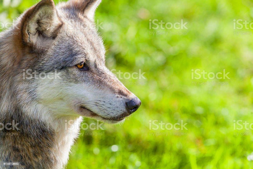 North American Gray Wolf stock photo