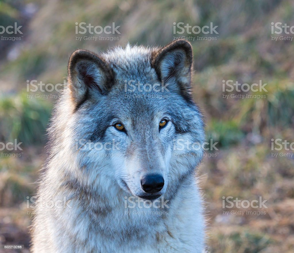 North American Grey Wolfe resting in a Boreal Forest. stock photo
