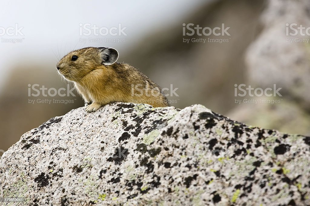 North American Pika stock photo