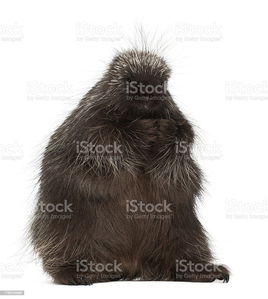 North American Porcupine, Erethizon dorsatum stock photo