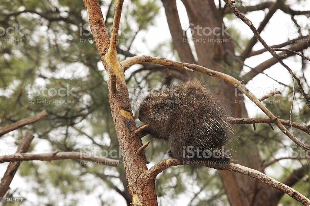 North American Porcupine Erethizon dorsatum stock photo