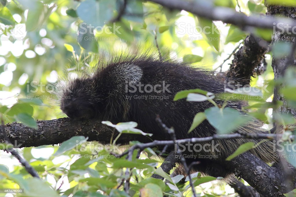 North American Porcupine - Erethizon dorsatum stock photo