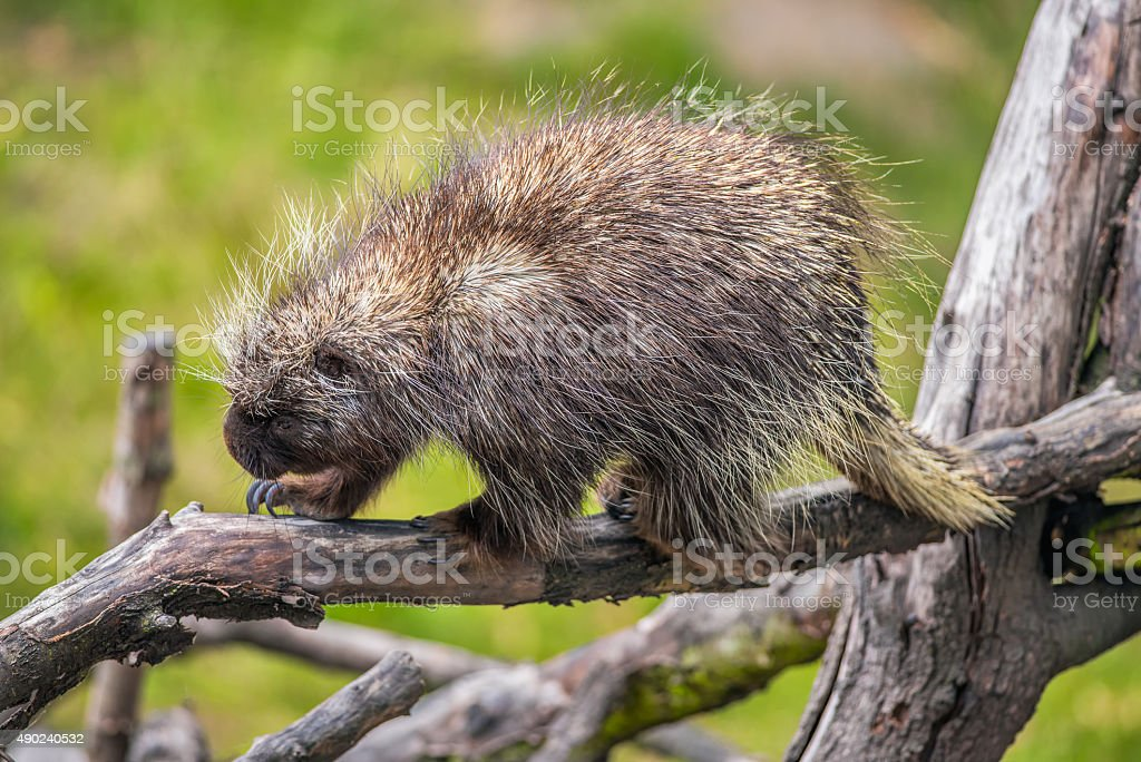 North American porcupine on a branch stock photo