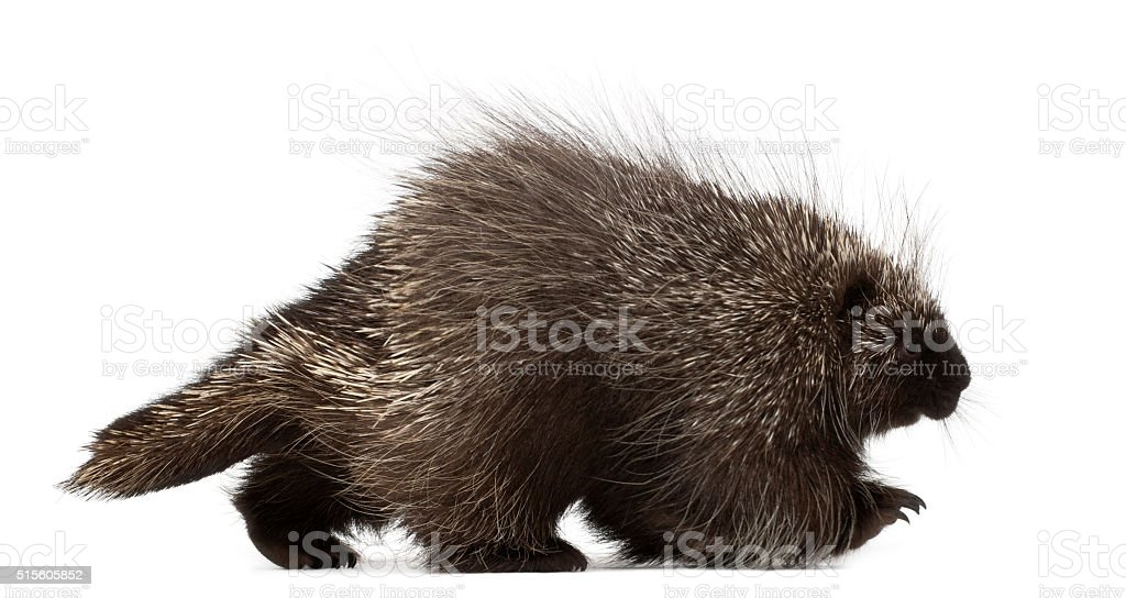 North American Porcupine or Canadian Porcupine or Common Porcupine walking stock photo
