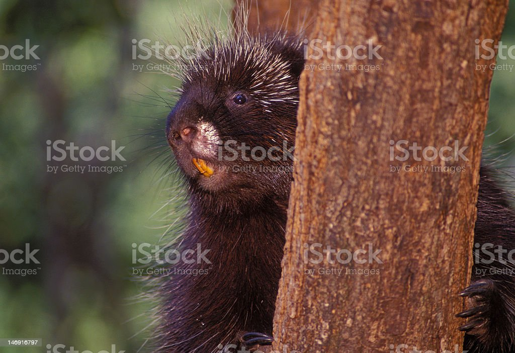 North American Porcupine stock photo