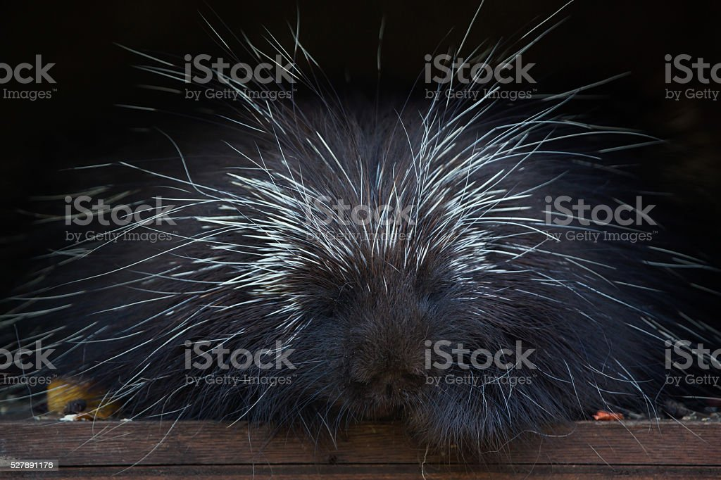 North American porcupine (Erethizon dorsatum). stock photo