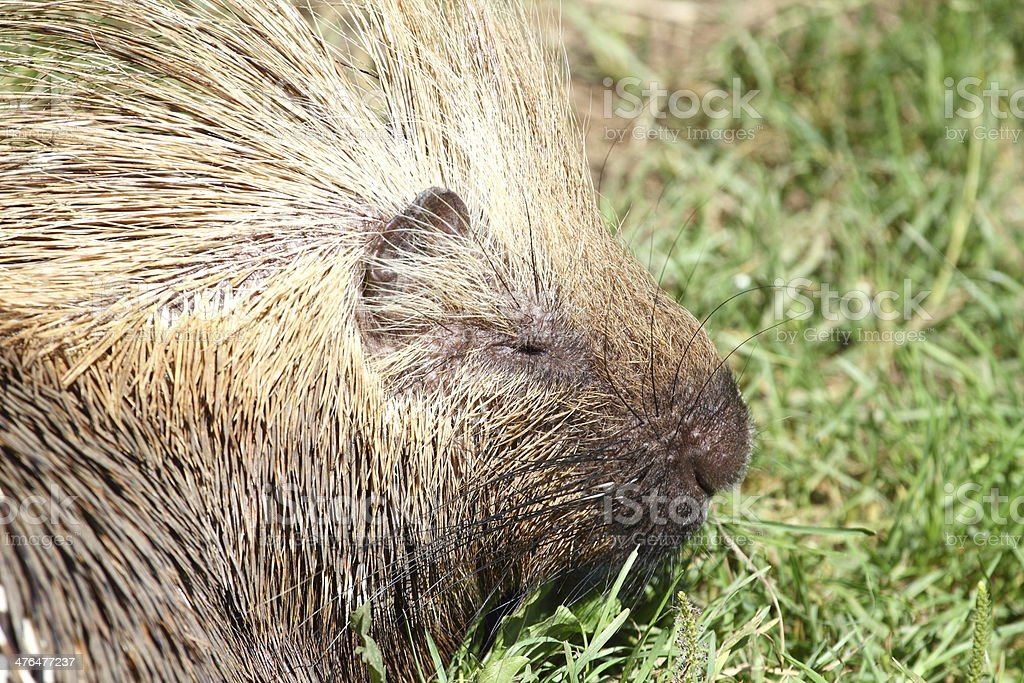 North American porcupine portrait royalty-free stock photo