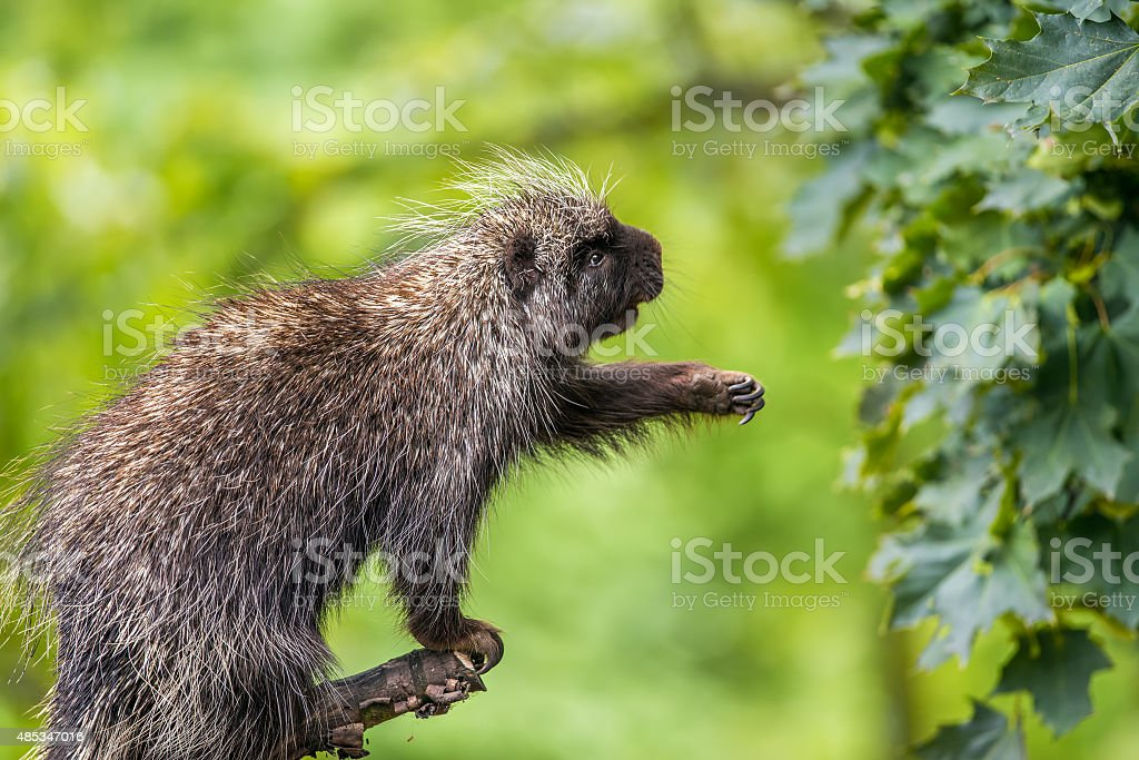 North American porcupine reaching for leaves stock photo