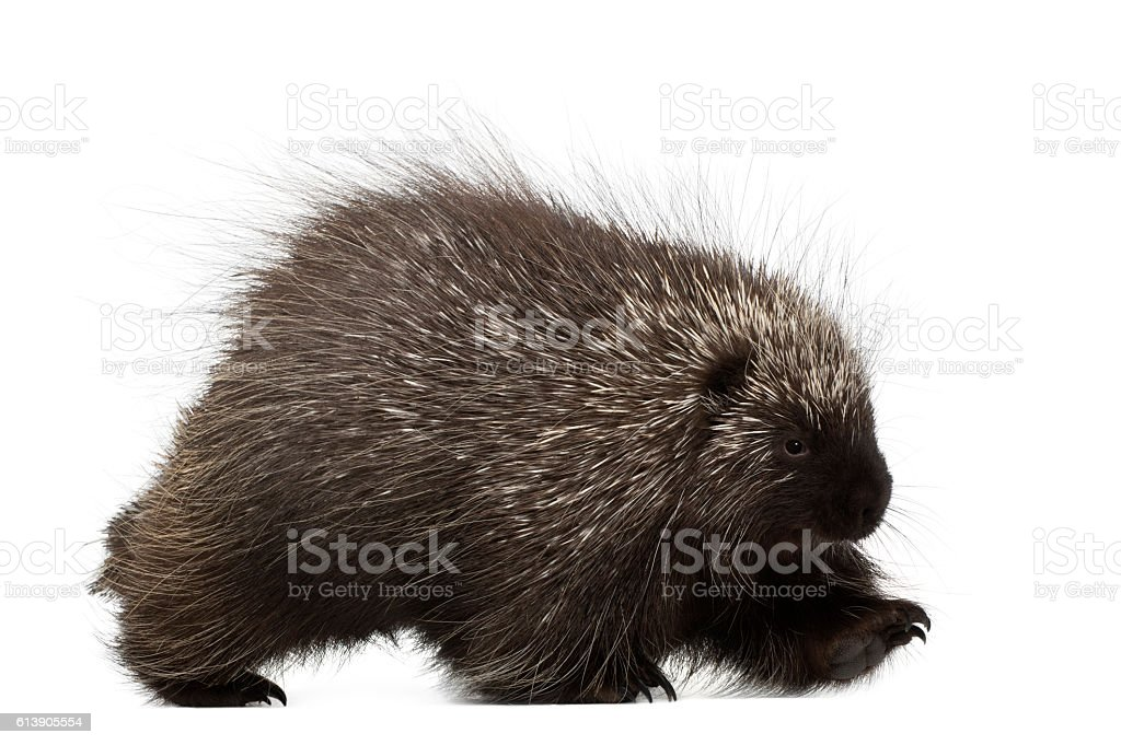 North American Porcupine walking isolated on white stock photo