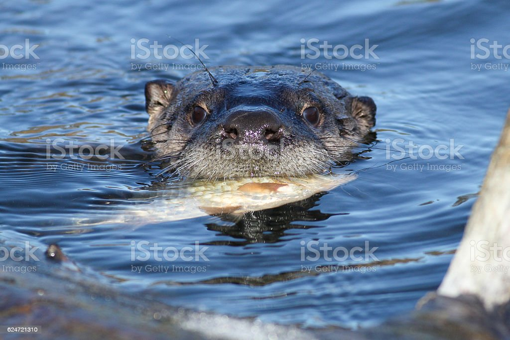 North American river otter eating fish stock photo