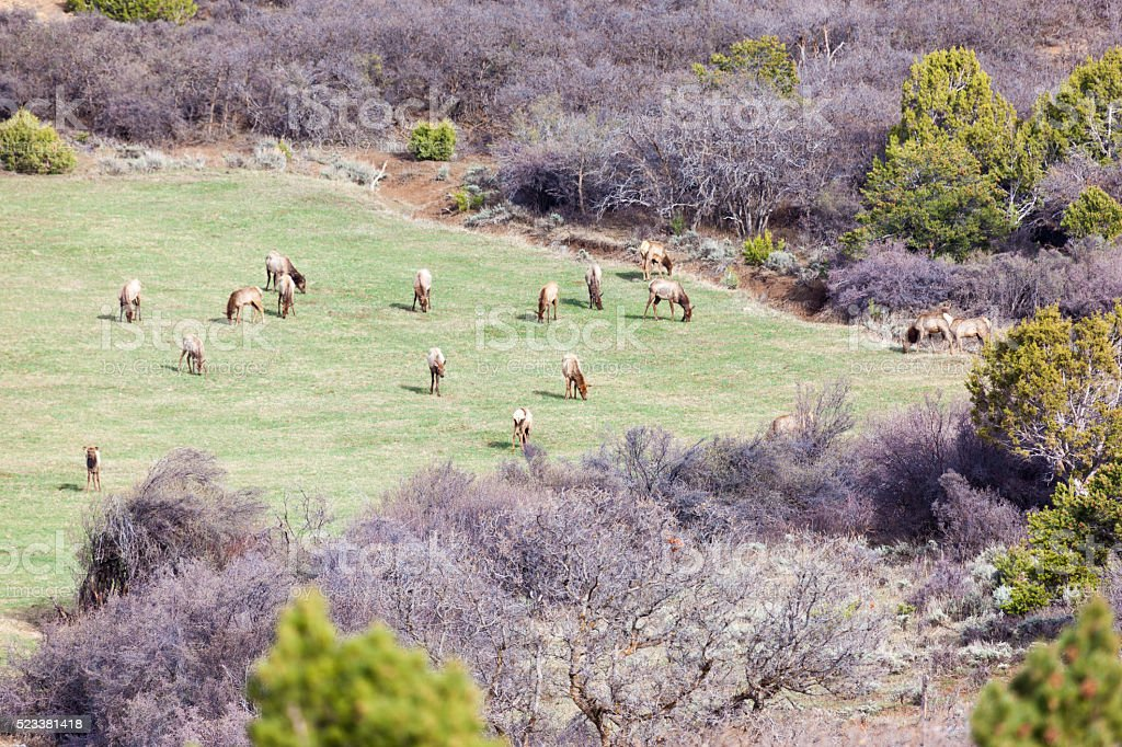 North American Western Colorado Mountains Elk Herd stock photo