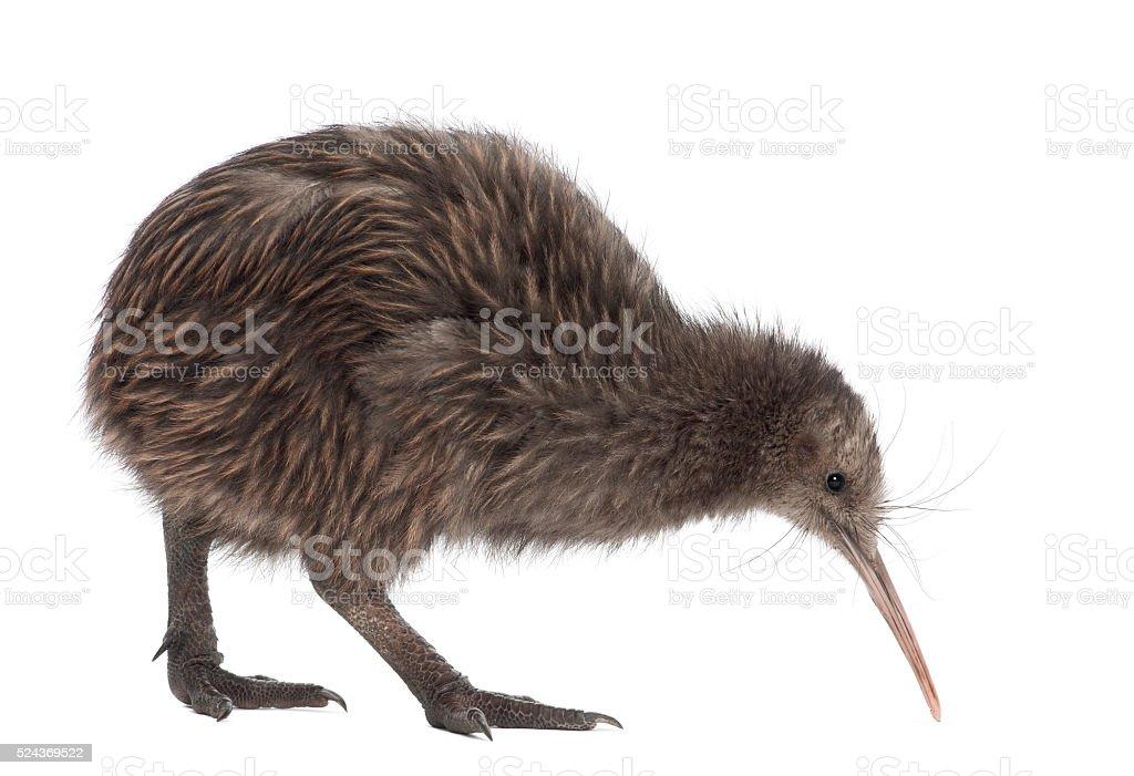 North Island Brown Kiwi, Apteryx mantelli, 5 months old, walking stock photo